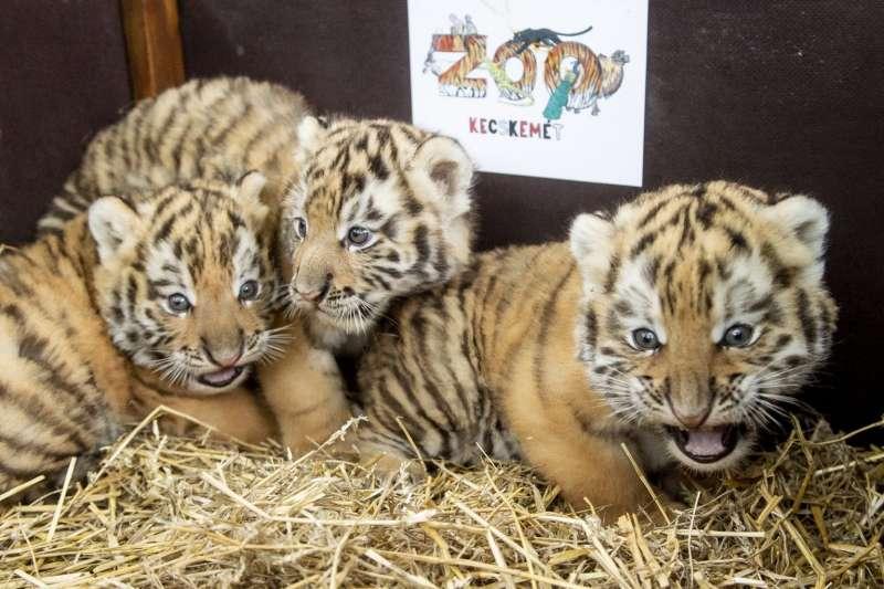 動物園「疫情嬰兒潮」:匈牙利的凱奇凱梅特動物園(Kecskemét Zoo)的東北虎首次誕下老虎寶寶。(AP)