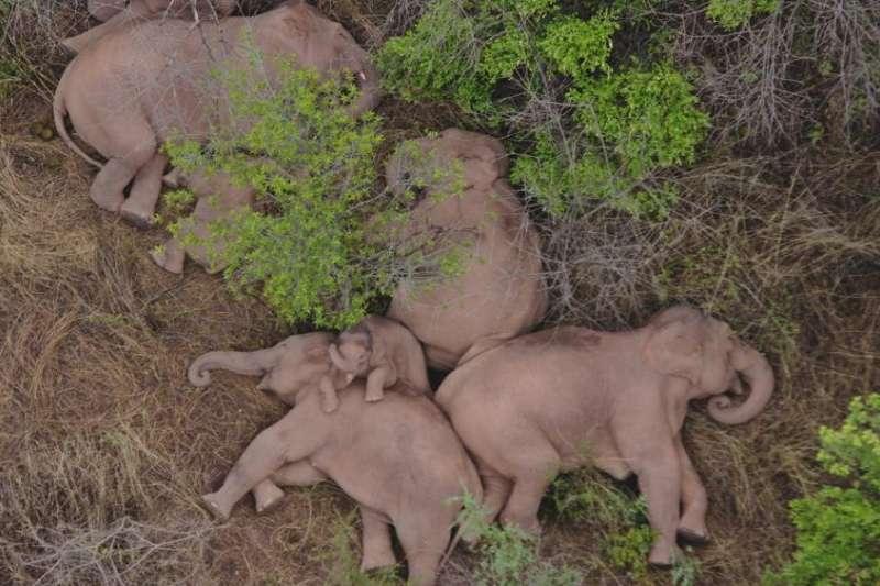 有15頭野生亞洲象最近一個多月在中國雲南引起廣大關注。(AP)