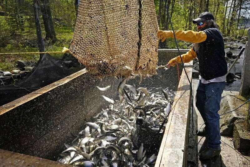 每年五月中旬所捕獲的鯡魚脂肪含量最高、品質最好。(AP)