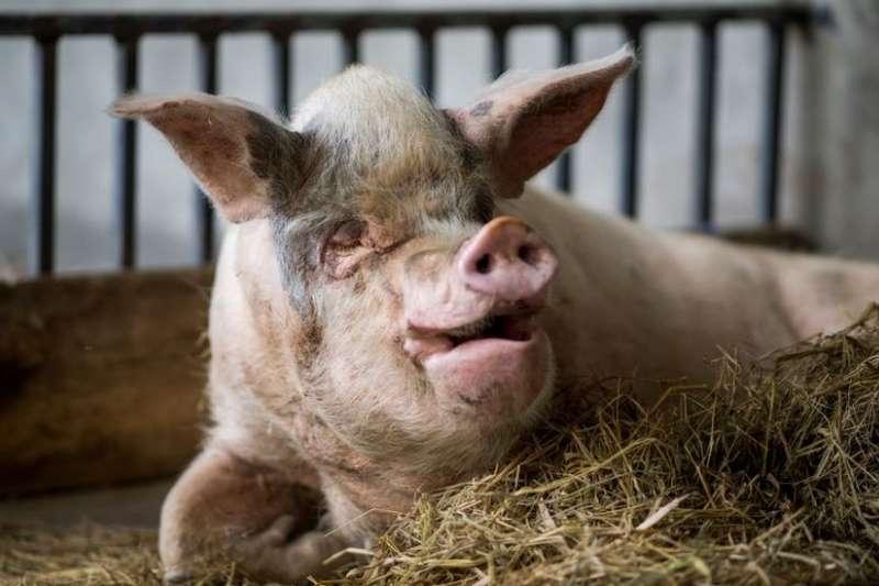 「豬堅強」離世,中國網民的哀悼之心引起國際媒體的關注。(BBC)