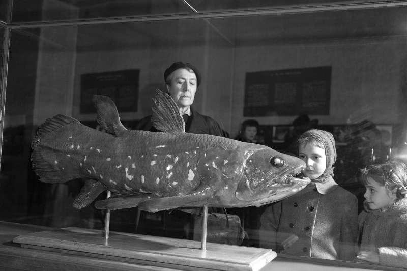 最新研究發現,有「活化石」之稱的腔棘魚壽命可長達百年。(AP)
