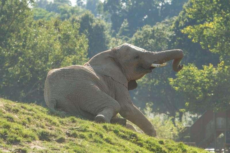 英國豪列茲野生動物公園要將園中13頭非洲草原象送回肯亞野化。(截自豪列茲野生動物公園官網)