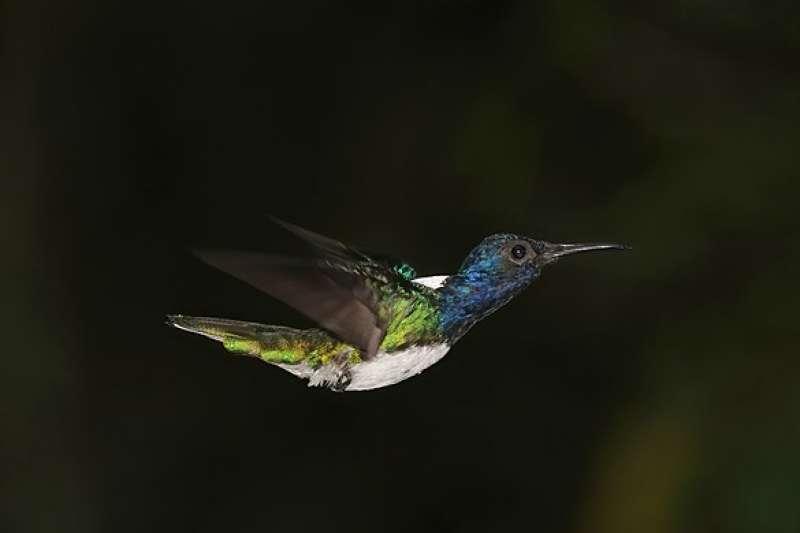 雄性「白頸蜂鳥」(取自Wikipedia)