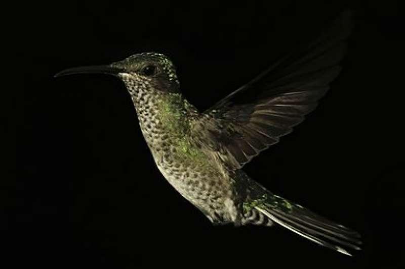 雌性「白頸蜂鳥」(取自Wikipedia)