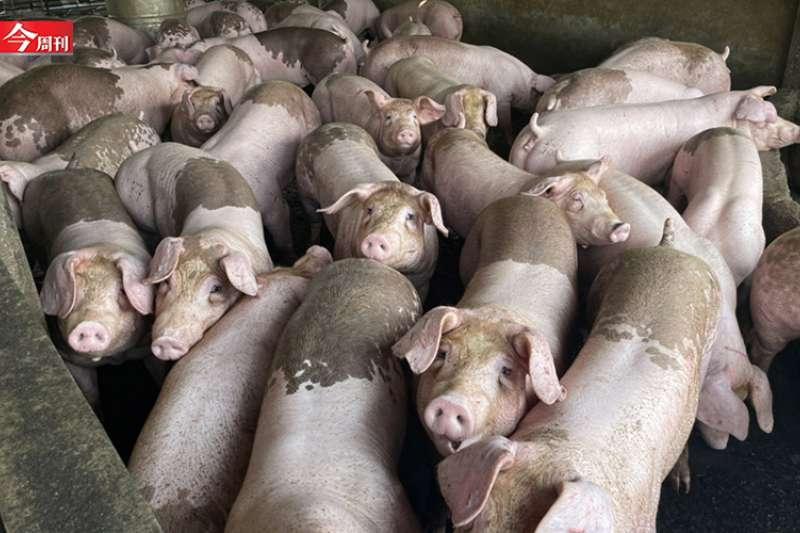 若全面禁用廚餘養豬,廚餘的處理及豬隻飼料成本過高,都將是難題。(屏東富貴畜牧場提供)