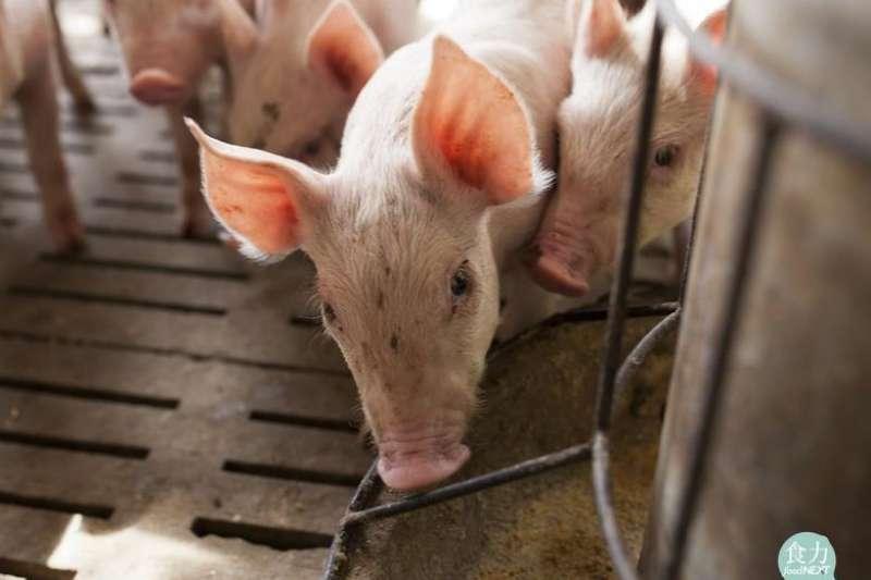 廚餘做飼料,初衷是要解決食物浪費,但卻因為多樣化的微生物以及朊毒體,造成各種疾病,如口蹄疫。(圖/食力foodNEXT提供)