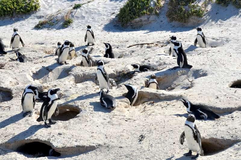 瀕臨絕種的非洲企鵝(Olga Ernst@Wikipedia /CC BY-SA 4.0)