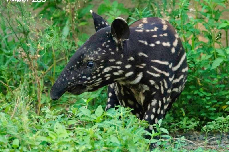 20210920-北市動物園馬來貘寶寶「貘花豆」。(取自Taipei Zoo 臺北市立動物園臉書)