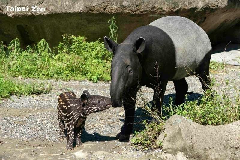 20210920-北市動物園馬來貘寶寶「貘花豆」與媽媽「貘莉」。(取自Taipei Zoo 臺北市立動物園臉書)