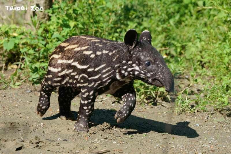 台北市立動物園表示,「貘花豆」全身布滿斑點及條紋,隨著年齡增長,將在6個月大時蛻變為成年馬來貘的黑白配樣貌。(取自Taipei Zoo 臺北市立動物園臉書)