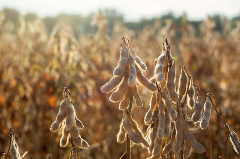 台灣98%的黃豆都仰賴進口,其中美國是進口的最大宗(圖片來源:美國黃豆出口協會)