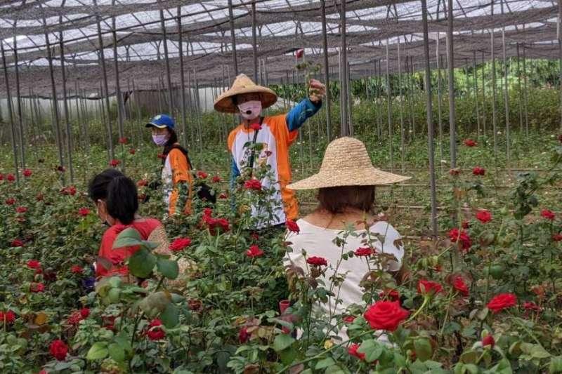 台中市豐原鎌村社區舉辦「發現玫瑰 遇見幸福」活動,遊客在玫瑰花園中體驗採收玫瑰花的樂趣。(圖/台中市政府)