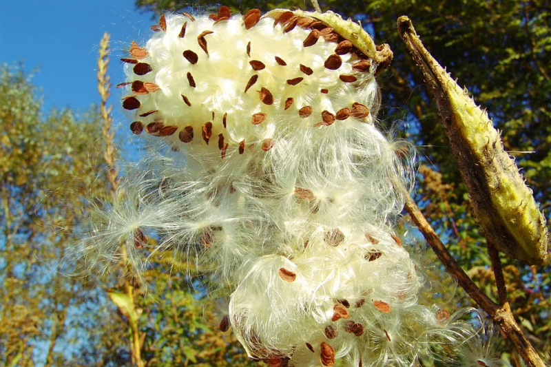 示意圖。野生菸草種子(取自Pixabay)