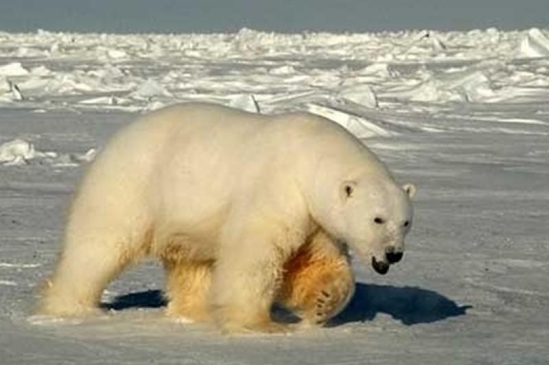 波弗特海南部的北極熊數量於10年間減少4成。(美聯社)