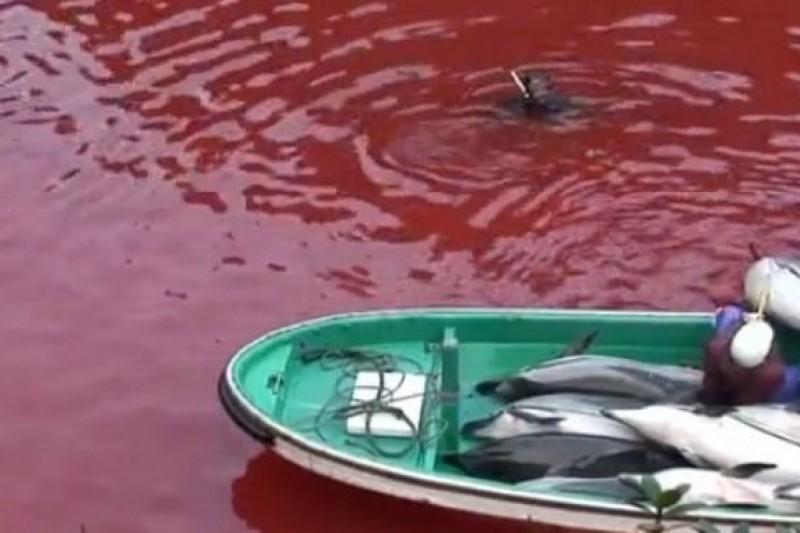 日本漁民每年獵殺大量海豚,引發強烈爭議。(取自網路)