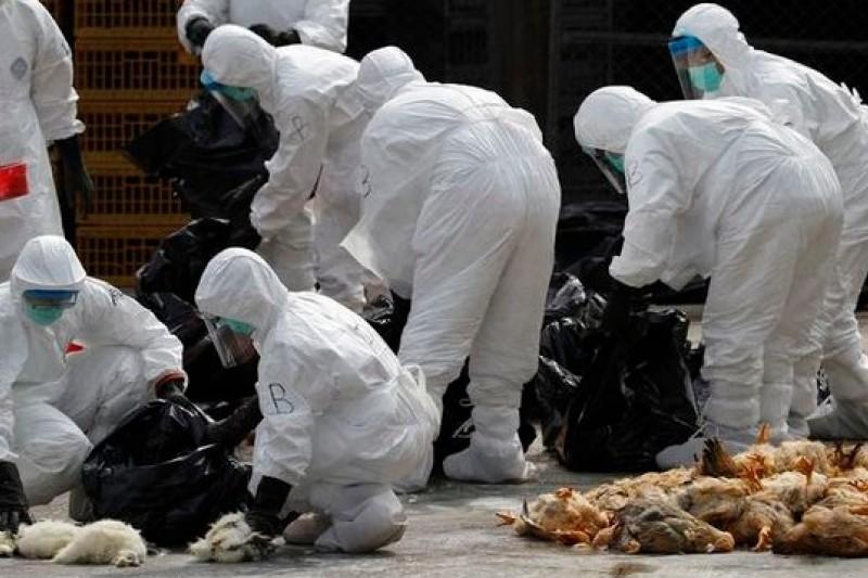 由於驗出H7N9病毒,香港以二氧化碳撲殺一批來自廣東的2萬隻活雞。(美聯社)