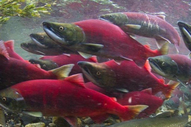 鮭魚天生就能感知地球磁場的強度及角度,藉以修正迴游方向。(取自網路)