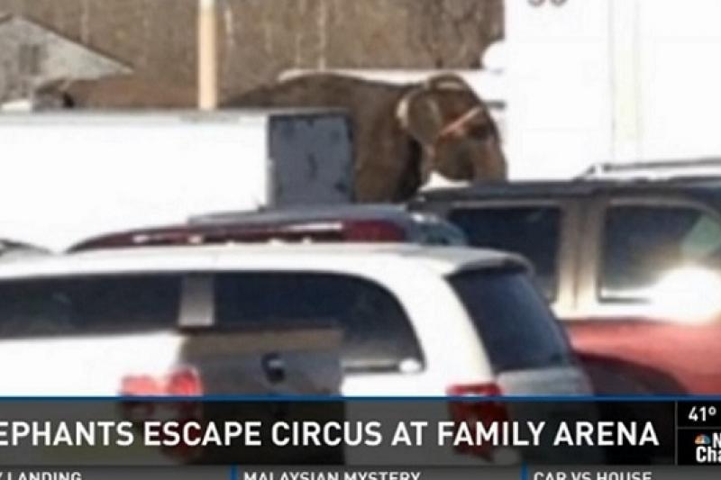 美國3隻馬戲團大象因受驚而逃出圍欄,闖入停車場(取自網路)