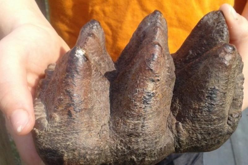 美國密西根州男孩發現已絕種的乳齒象牙齒(取自網路)