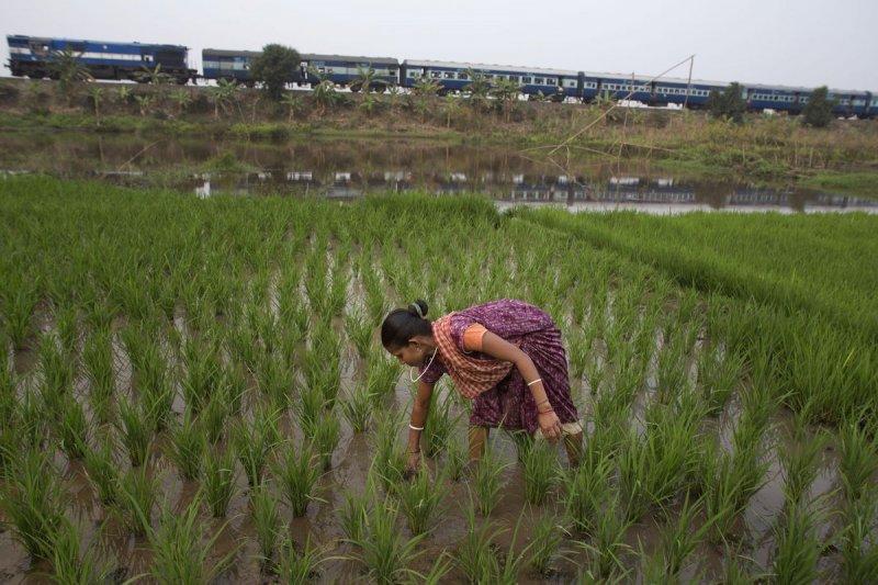印度即將展開第二次綠色革命,憑藉竟然是基因改造作物。(美聯社)