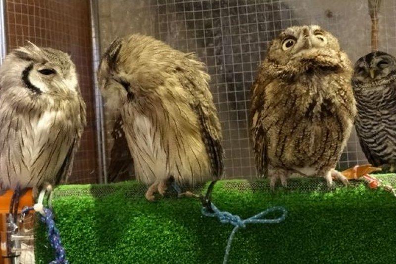 日本東京的貓頭鷹咖啡館,貓頭鷹的模樣超萌。(美聯社)