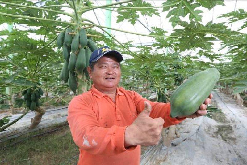 木瓜就跟主人一樣健壯,拿下拍賣市場每公斤170元的冠軍,也是台灣唯一外銷日本的木瓜。