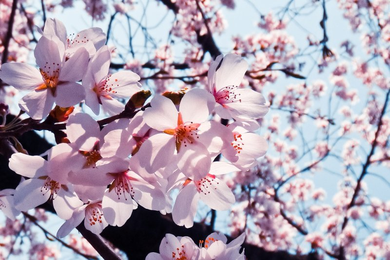 浪漫的賞櫻活動,竟帶來某些困擾。(圖/SteFou!@flickr)
