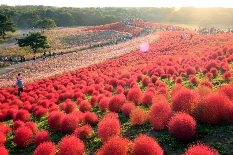 像這樣一球一球毛茸茸的可愛景色可是日本限定!(圖/ReginaldPentinio@flickr)