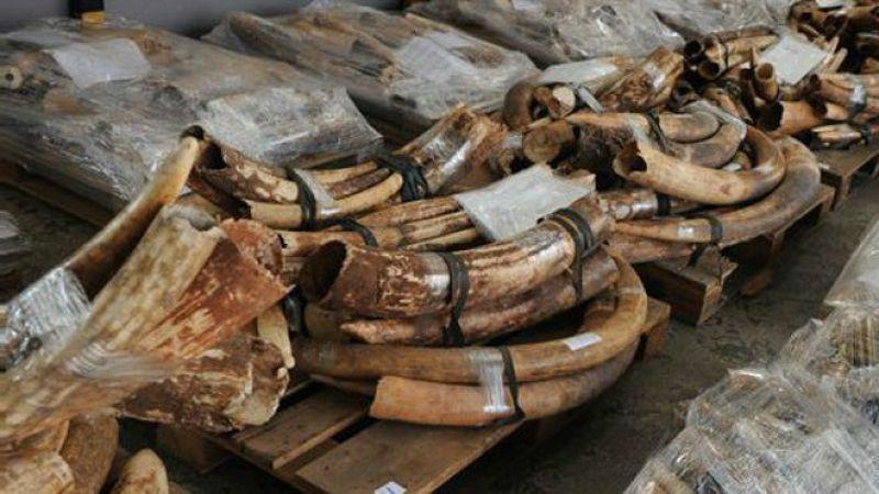 由於中國對象牙製品的需求,導致每年數以萬計的非洲大象被屠殺。(BBC中文網)