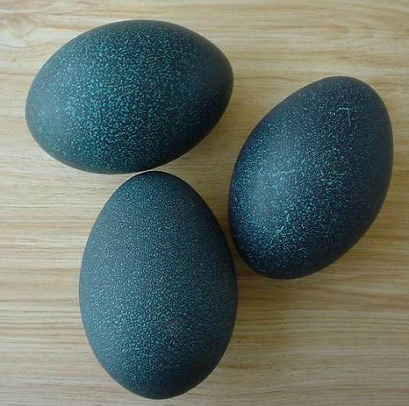 日本用鴕鳥蛋培植MERS病毒預防抗體。(取自維基百科)