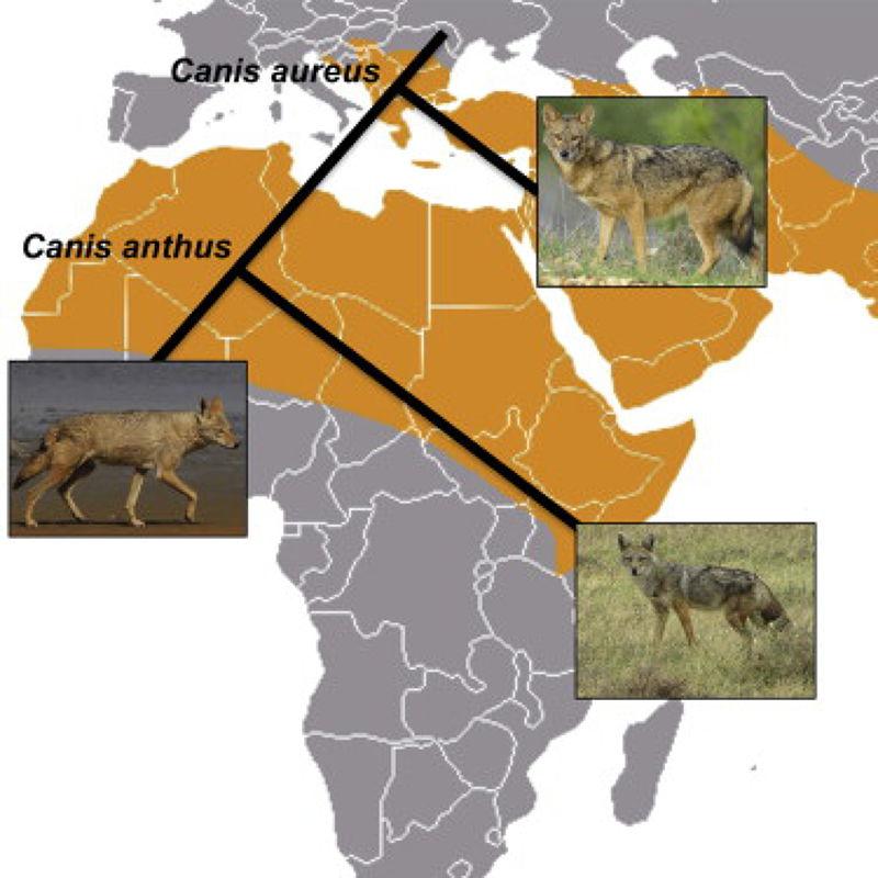 SCBI研究團隊證明非洲黃金狼和歐亞金豺血脈甚遠(圖片來源:SCBI)