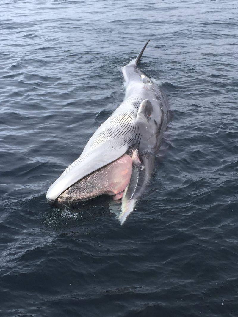 死亡並擱淺於美國阿拉斯加的鯨魚。(美聯社)