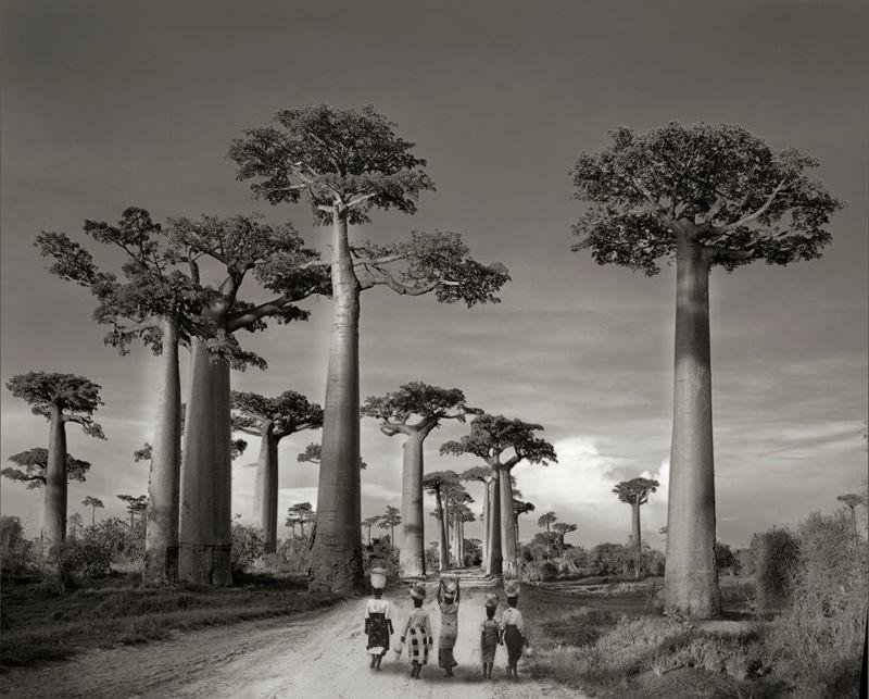 馬達加斯加的參天巨木。(圖/Beth Moon@facebook)