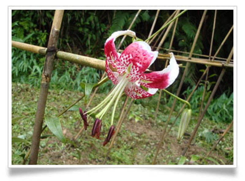 艷紅鹿子百合在原鄉復育有成,如今正值花期,可以一睹璀璨的花朵綻放。(圖片來原:農業局)