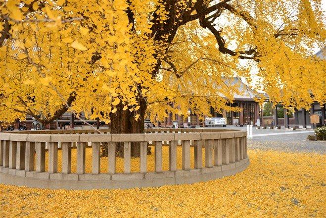 秋季賞楓之餘,記得來此體驗一遭何謂金黃色的華麗!(圖片來源:Flickr CC授權作者gleesang)