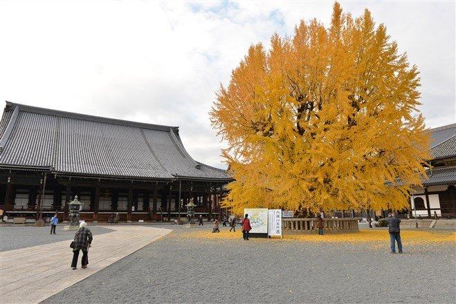 西本願寺每年秋季最大亮點便是矗立於御影堂前,那棵樹齡約400年的京都市天然紀念物「銀杏樹」。(圖片來源:Flickr CC授權作者Ryosuke Yagi)