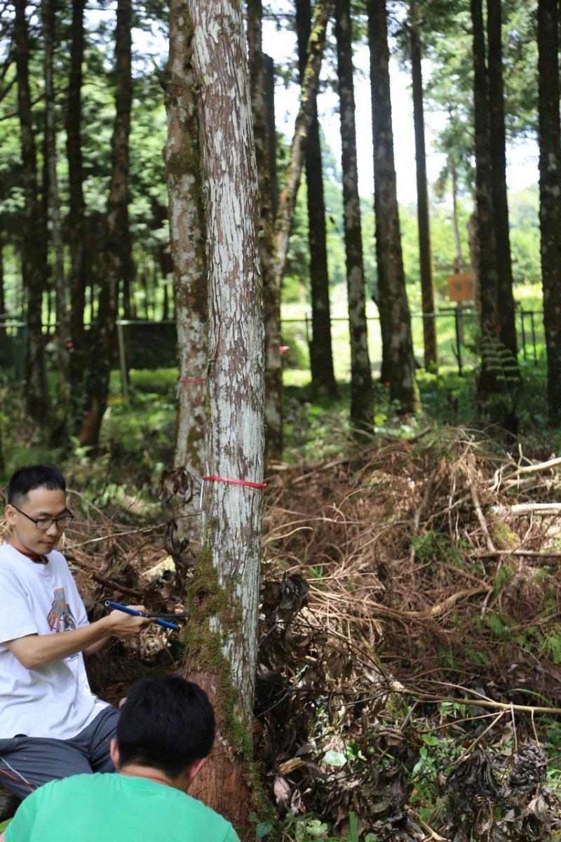 森保處最後採集樹葉「驗明正身」就是蔣經國所種的扁柏(綁紅線〕。(森保處提供)
