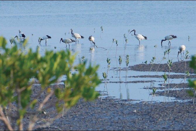 社子島濕地常見的埃及聖䴉(臺北市政府工務局水利工程處提供)