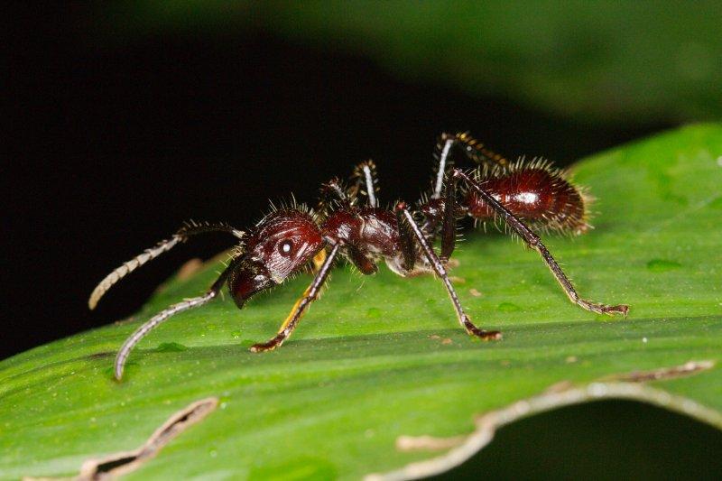 蟻如其名兇猛的子彈蟻。(圖/Graham Wise@flickr)