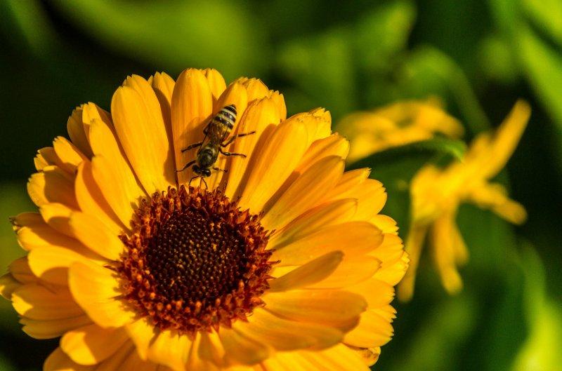 你被蜜蜂叮過嗎?這個科學家自願讓蜜蜂叮,看看叮哪邊最痛。(圖/Thangaraj Kumaravel@flickr)