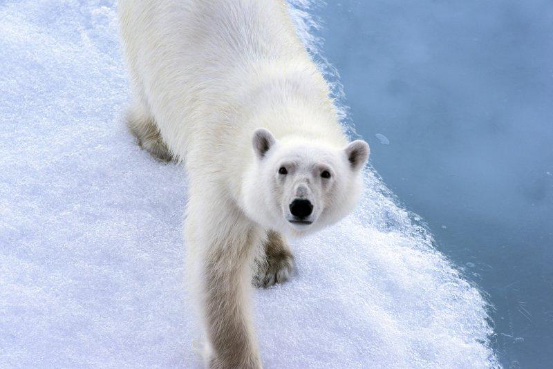 全球暖化造成冰河消融,造成北極熊生存危機(圖/ChristopherMichel@flickr)