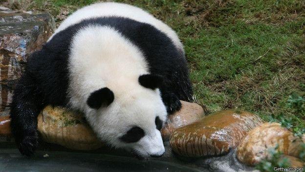 報告稱四川野生熊貓棲息地遭到破壞。(BBC中文網)