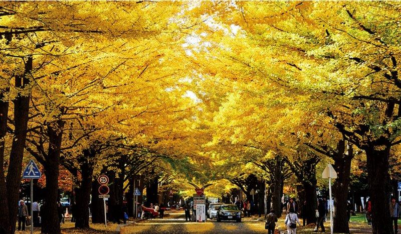 飄落的銀杏葉如同下起了黃金雨一般,相當浪漫。(圖/札幌市觀光文化局觀光會展部觀光規劃課)