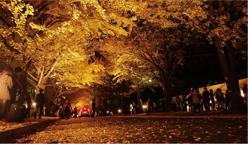 金葉祭時銀杏大道在夜晚時打上燈光,有種魔幻的美感。(圖/札幌市觀光文化局觀光會展部觀光規劃課)