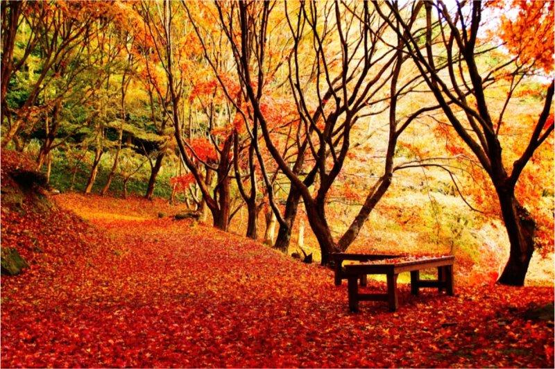 從紫藤架一路走上來就是楓樹林。(圖/河內藤園)