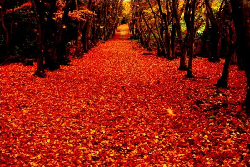 紅葉滿地如火般燃燒。(圖/河內藤園)