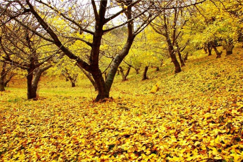 河內藤園銀杏葉飄落如金黃地毯。(圖/河內藤園)