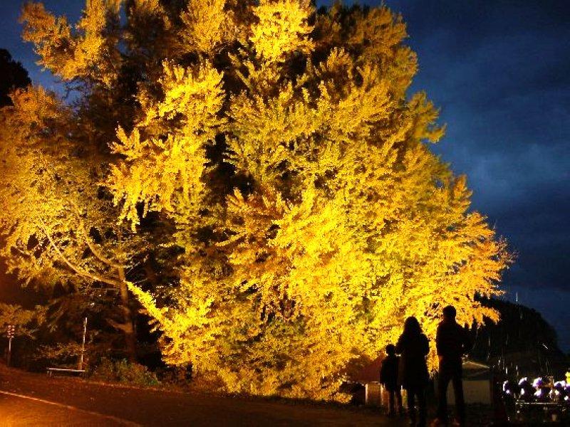 青森北金ヶ沢的日本第一大銀杏樹。(圖/青森縣觀光國際戰略局)