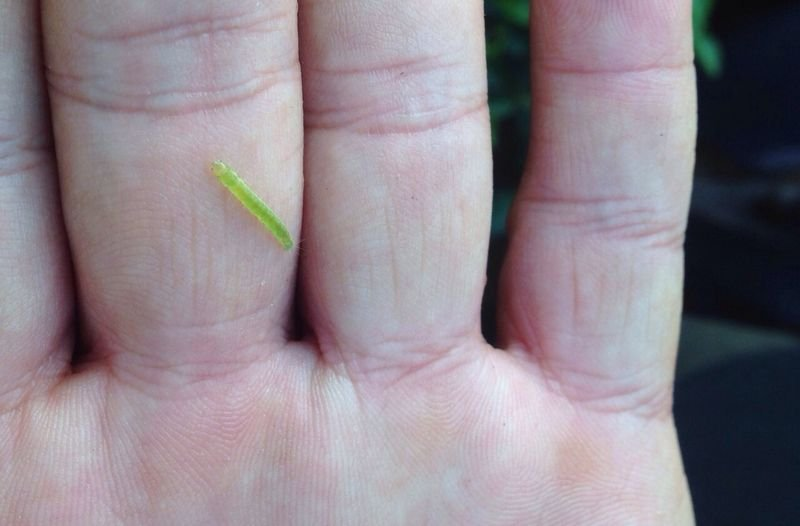 從有機茶葉上摘下的蟲(圖片來源:作者提供)