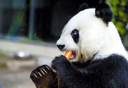 貓熊「巴斯」今天邁入35歲,這也相當於人類百歲壽命。(取自網路)
